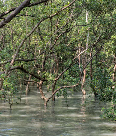 nurseries: Mangrove forest in Thailand. Mangroves serve as nurseries for many marine species. Stock Photo
