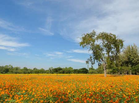 naranja color: Beautiful orange cosmos flower field Foto de archivo