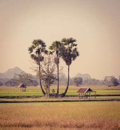 sugar palm: Stunning view of sugar palm trees and hut on the rice field in Thailand. Vintage color style image.