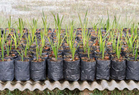 dactylifera: Young date palm in nursery
