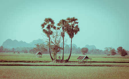 sugar palm: Landscape of sugar palm trees and hut on the rice field in Thailand. Vintage color style image.