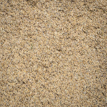 chaff: Paddy rice grain (unmilled rice) background