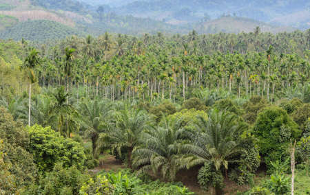 tree plantation: Elaeis guineensis tree or oil palm tree plantation in Thailand