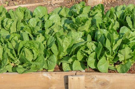 romaine: Romaine lettuce plantation in the garden