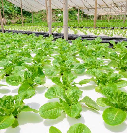 romaine: Hydroponic Romaine lettuce vegetables plantation in aquaponics system