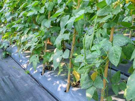 long bean: Chinese long bean plantation in the garden with plastic film placed over the ground Stock Photo
