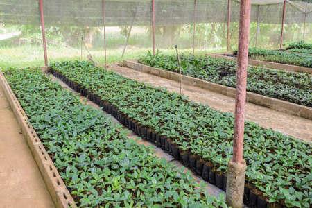 chaff: Coffee seedlings plant  nursery in greenhouse