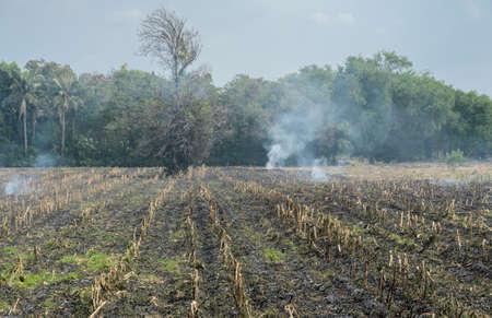 sugarcane: Burnt sugarcane field after harvest. Global warming concept Stock Photo