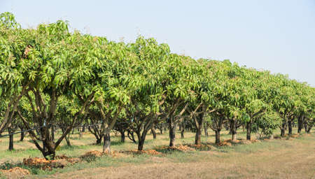 mango: Mango drzew rosnących na polu w Tajlandii Zdjęcie Seryjne