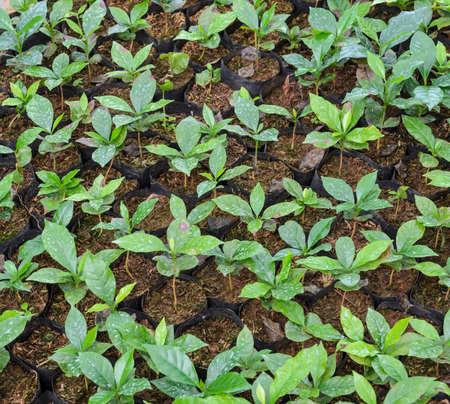 chaff: Coffee seedlings plant in a nursery