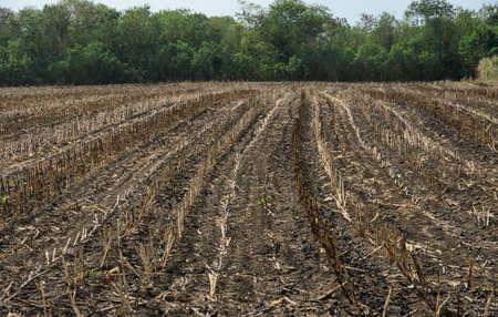 Burnt sugarcane field after harvest. Global warming concept Stock Photo