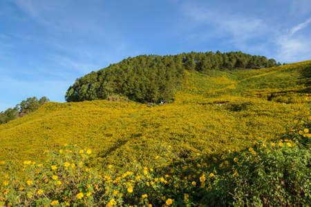 mea: Beautiful wild Mexican sunflower mountain (Tung Bua Tong ) at Doi Mea U Koh in Maehongson Province, Thailand.