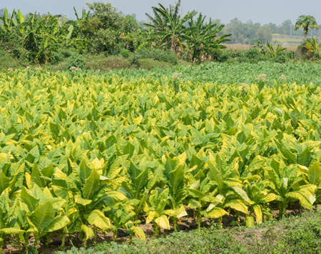 tobacco plants: Tobacco plants growing in a field in Thailand