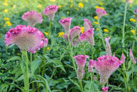cockscomb: Pink Cockscomb flower or Celosia cristata flower in the garden