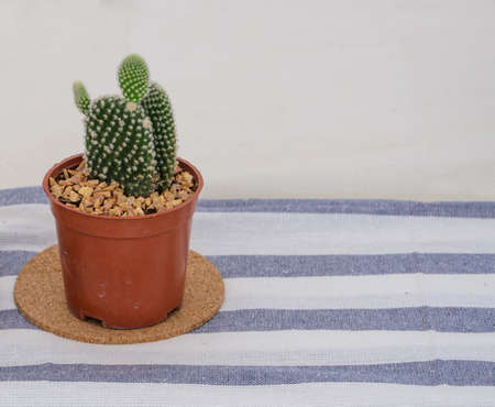 microdasys: Opuntia microdasys or Bunny ears cactus flowerpot on striped tablecloth Stock Photo