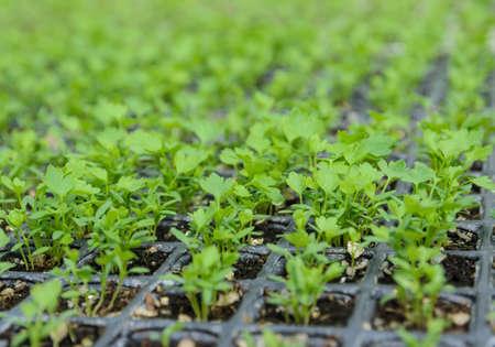apium graveolens: Chinese celery seedlings plant in a nursery Stock Photo