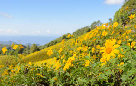 mea: Wild Mexican sunflower blooming valley (Tung Bua Tong ) at Doi Mea U Koh in Maehongson Province, Thailand.