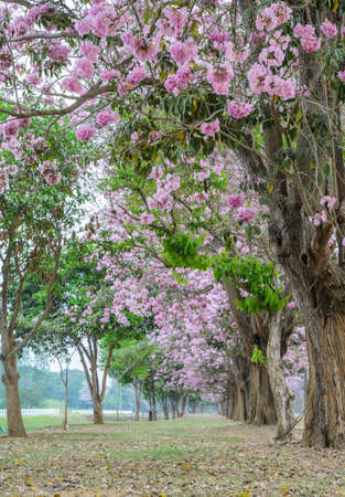 tunnel view: Beautiful view pink flower tree tunnel of Tabebuia or trumpet tree
