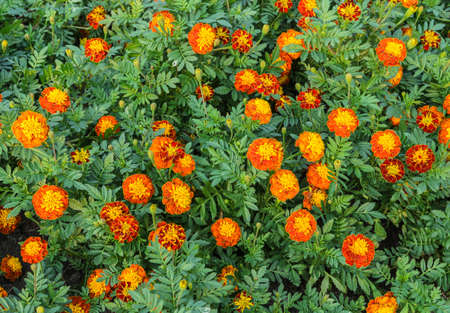 French marigold flower or Tagetes patula flower in the garden Stock Photo