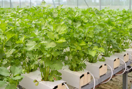apium graveolens: Organic Hydroponic Chinese celery vegetables plantation in aquaponics system Stock Photo