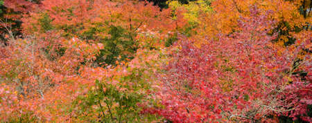 momiji: Autumn color leaves of Japanese maple trees