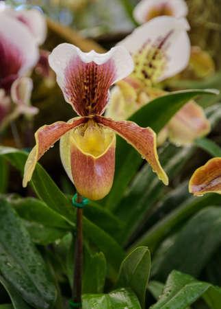 Weiße Phalaenopsis Orchidee Lizenzfreie Fotos, Bilder Und Stock ...
