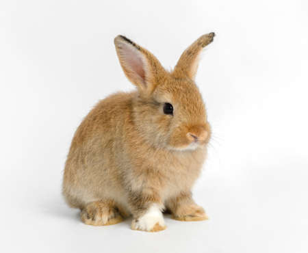 Brown baby adorable rabbit portrait on white background