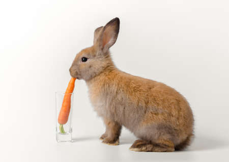 Brown adorable baby rabbit squatted and eating fresh carrot placed in glass on white background