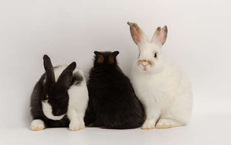 Three adorable rabbits of white and black color with different actions on white background. Lovely action of adorable baby rabbit