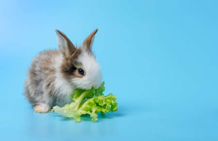 Adorable baby rabbit sitting on blue background  and eating green lettuce leaf
