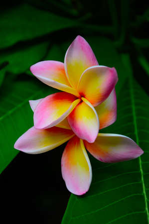 Tropical flowers frangipani   plumeria   photo