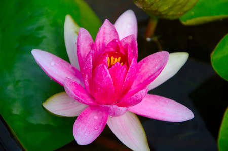 Pink Water Lilly in Queen Sirikit Botanical Gardens, Mae Rim, Chiang Mai, Thailand photo
