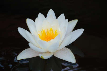 nymphaea: Close-up image of White Water Lily in Queen Sirikit Botanical Gardens, Mae Rim, Chiang Mai, Thailand Stock Photo