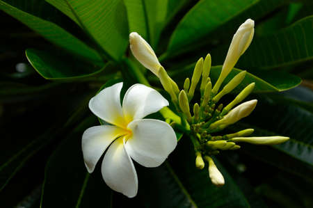 Tropical white frangipani  flowers, plumeria ,Chiang Mai, Thailand photo