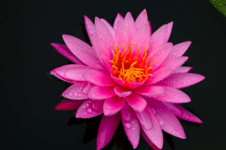 sirikit: Close-up image of Pink Water Lily in Queen Sirikit Botanical Gardens, Mae Rim, Chiang Mai, Thailand