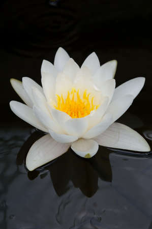 Close-up image of White Water Lily in Queen Sirikit Botanical Gardens, Mae Rim, Chiang Mai, Thailand photo