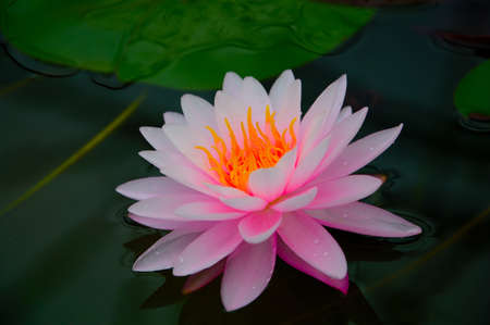 Close-up image of Pink Water Lily in Queen Sirikit Botanical Gardens, Mae Rim, Chiang Mai, Thailand photo