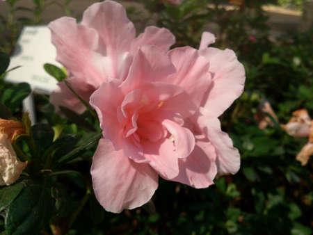 azaleas: Azaleas. Royal Park Rajapruek.Chiangmai
