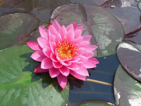 aqua: Pink Waterlily in Queen Sirikit Botanic Garden Maerim Chiangmai Thailand Stock Photo