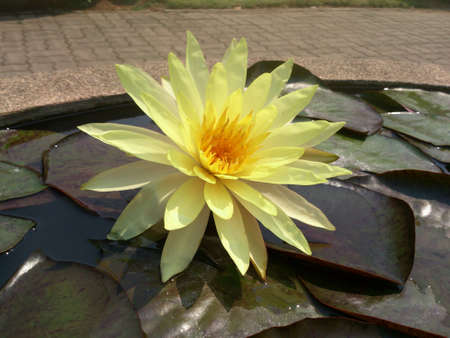 aqua: Yellow Waterlily in Queen Sirikit Botanic Garden Maerim Chiangmai Thailand