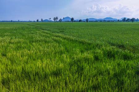 plentiful: Plentiful green rice field in Phetchaburi, Thailand Stock Photo