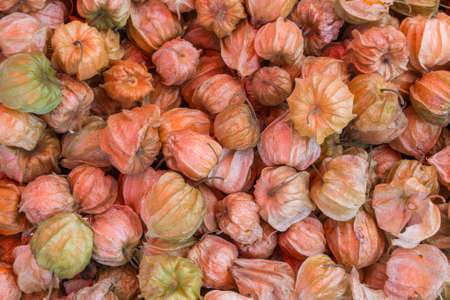 cape gooseberry: Fresh Cape Gooseberry from Doi Inthanon, Chiengmai, Thailand