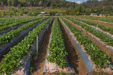 chiang mai: Strawberry Farm at Chiang Mai, Thailand