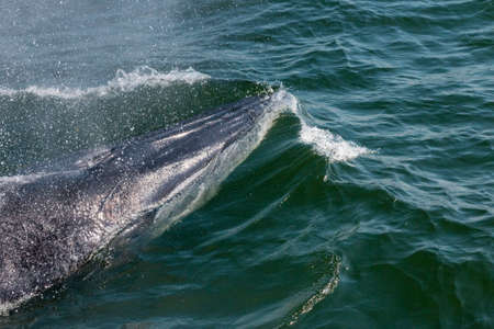 exhale: Baby Brydes Whale quickly swim to the water surface to exhale by blowing the water into the air. There are many Brydes Whale living in the gulf of Thailand at Bang Tabun, Petchaburi, Thailand.