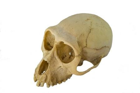 Monkey skull on white background  photo