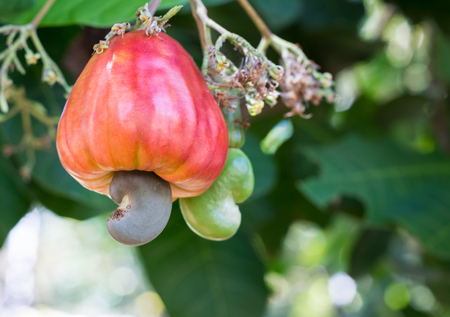 cashew tree: Cashew nuts growing on a tree, soft focus