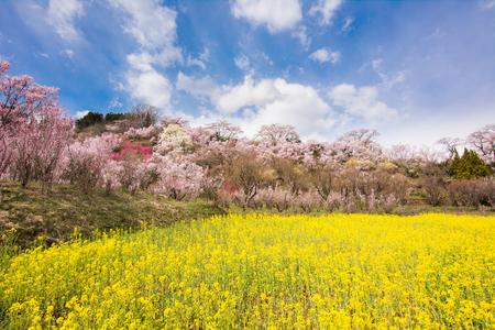 Hanamiyama Park yellow flower  cherry trees in full bloom fukushima