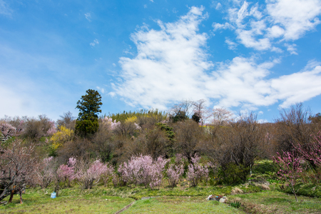 Hanamiyama Park yellow flower cherry trees in full bloom, Fukushima