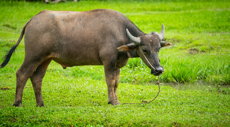The buffalo in the countryside of Thailand eats grass in the field of agriculture and livestock concept 写真素材