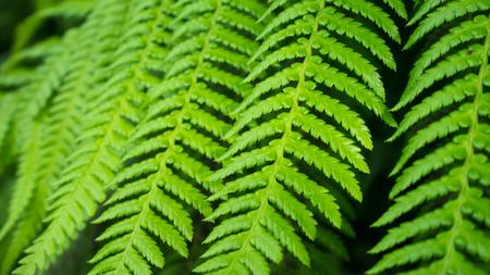 Close up of Fresh green fern leaf texture background